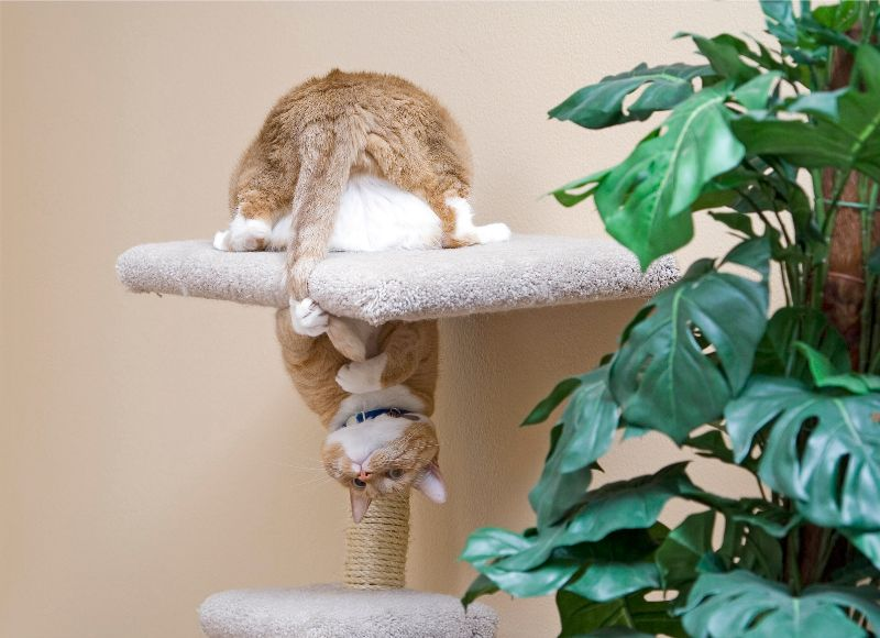 A fat orange cat upside down in a cat tree holds its tail