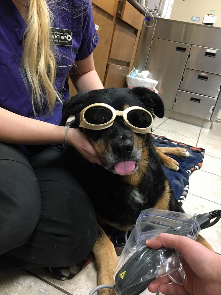 Dog receiving cold laser therapy